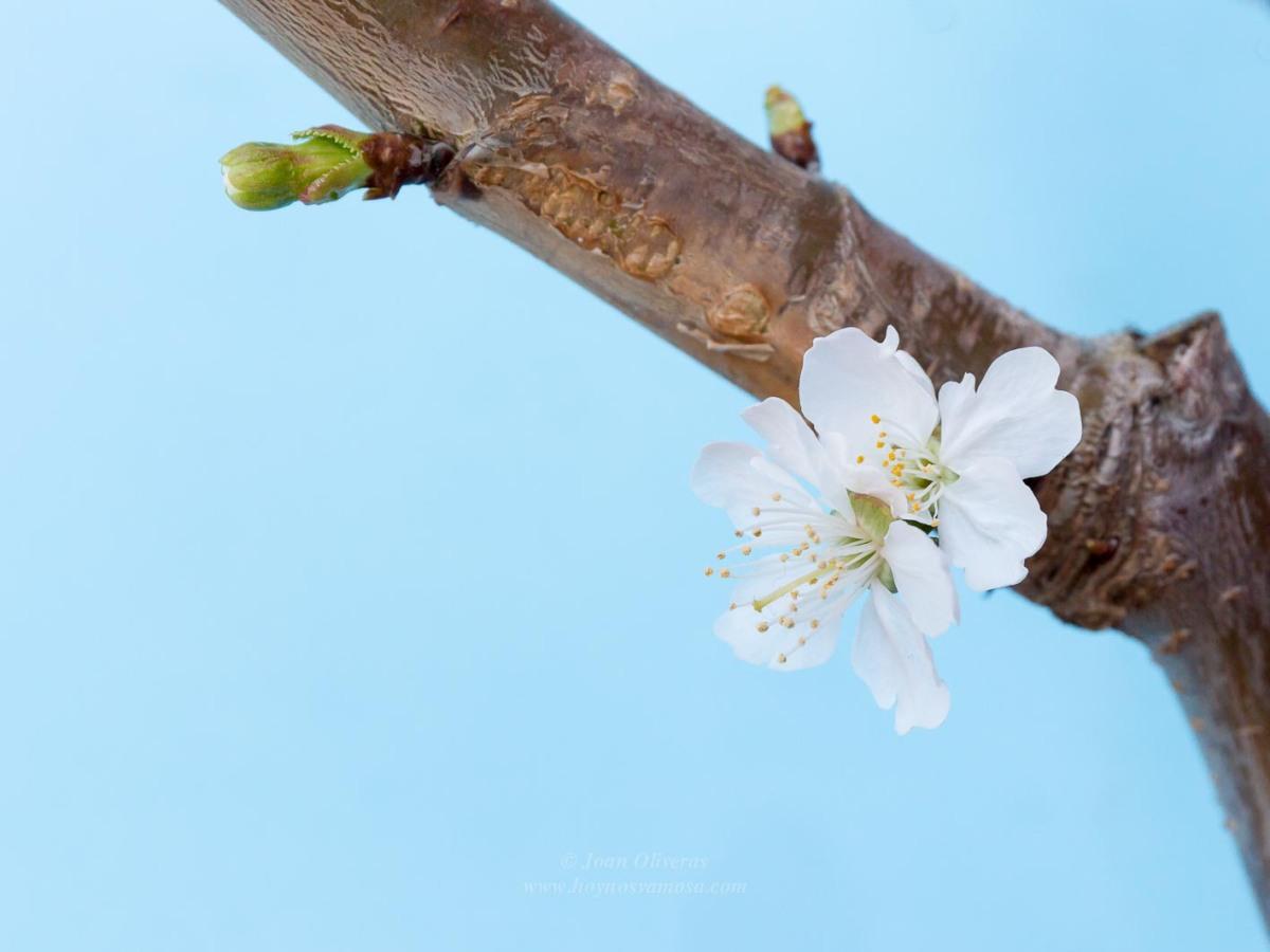 Hanami o la contemplación de la flor del cerezo